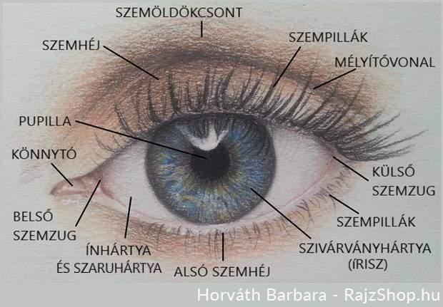 A szem felépítése, rajzolása